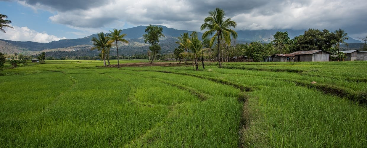 Timor-Leste: Countryside, Field, Grassland, Nature, Outdoors, Paddy Field, Arecaceae, Flora, Palm Tree, Plant, Tree, Vegetation, Tropical, Land